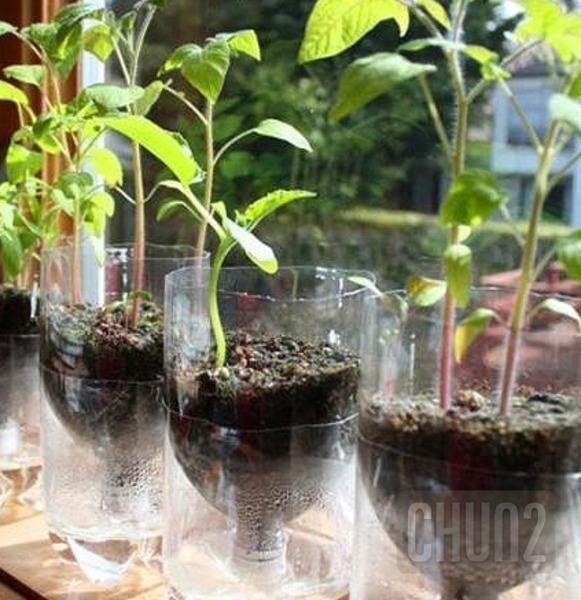 รูป 2 ปลูกผักสวนครัว จากขวดน้ำดื่ม