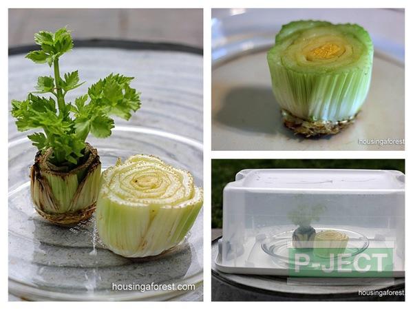 ปลูกผักจากตอหัวผักกาด
