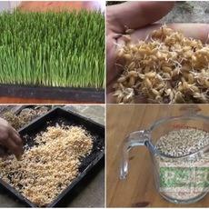 ปลูกต้นกล้าข้าวสาลี ในบ้าน นำใบไปปั่น ดื่มกิน (Wheatgrass)
