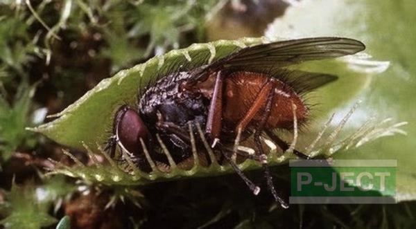 รูป 1 ต้นไม้กินแมลง สังเกตการปิดใบ (กาบหอยแครง Venus Fly Trap)