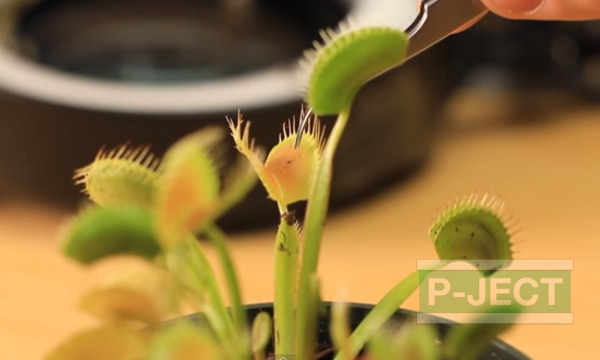 รูป 4 ต้นไม้กินแมลง สังเกตการปิดใบ (กาบหอยแครง Venus Fly Trap)