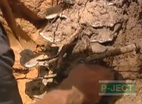 รูป 7 รังมดใต้ดิน หลอมจากอะลูมิเนียมเหลว
