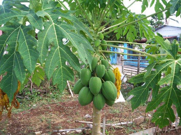 รูป 2 มะละกอ ปลูกง่ายๆ อร่อยด้วย