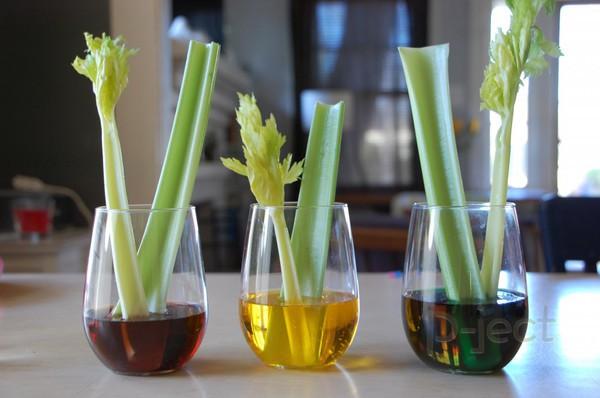 รูป 6 ทำการทดลอง ใบไม้เปลี่ยนสี (ต้นเซอรารี่)