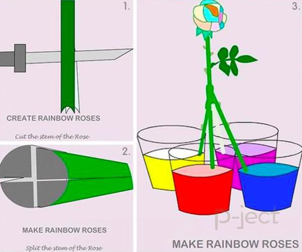 รูป 2 ดอกกุหลาบสีรุ้ง ทดลองวิทย์ สนุกๆ