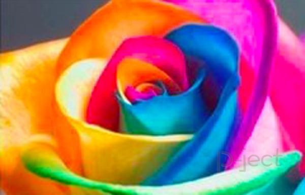 รูป 3 ดอกกุหลาบสีรุ้ง ทดลองวิทย์ สนุกๆ