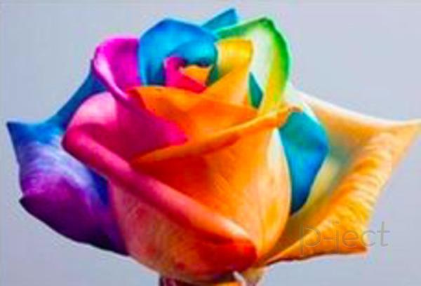 รูป 4 ดอกกุหลาบสีรุ้ง ทดลองวิทย์ สนุกๆ
