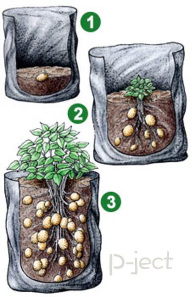 รูป 5 ปลูกมันฝรั่ง แบบง่ายๆ