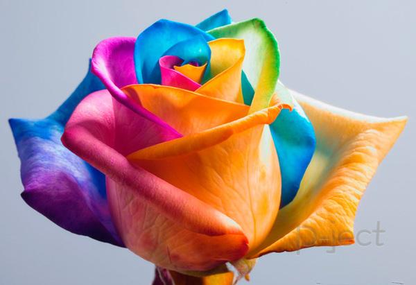 เปลี่ยนสีดอกกุหลาบ หลากสี จากสีผสมอาหาร